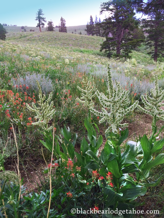 blackbearlodgetahoe_wildflowers