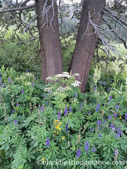 wildflowers_Tahoe_blackbearlodge